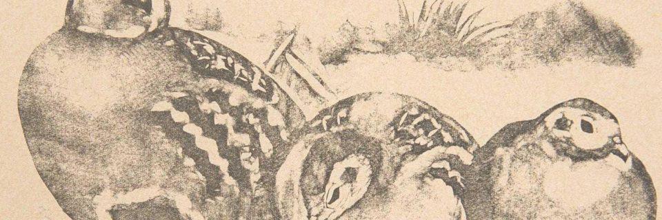 Du croquis à la gravure Robert Hainard